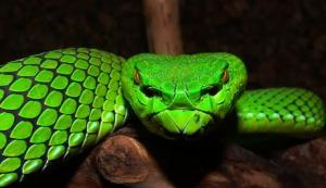 green-viper-snake