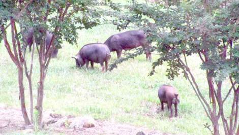 mountain hogs